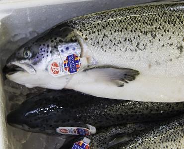 Saumon Écosse Label Rouge